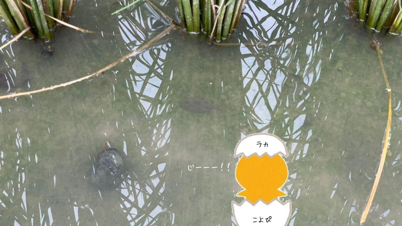 田螺写真2